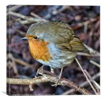 Robin Redbreast close up, Canvas Print