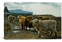 A herd of Highland Cattle, Canvas Print