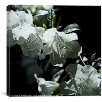 White evergreen and scented Azalea flowers, Canvas Print