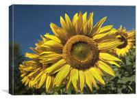 Sunflowers Under A Clear Blue Sky, Canvas Print