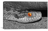 Adder up close and personal colour popped, Canvas Print