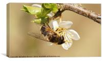 Hoverfly , Canvas Print