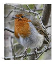 Portrait of a Robin, Canvas Print