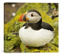 Raindrops on Puffin, Canvas Print
