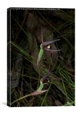 Spider Orchid In Bloom, Canvas Print