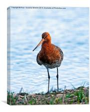 Black -Tailed Godwit, Canvas Print