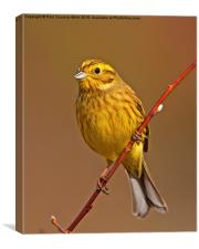 Yellowhammer, Canvas Print