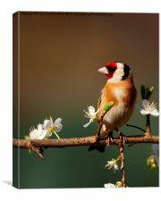 Goldfinch on flowering Blackthorn., Canvas Print