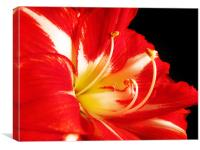 Red and White Amaryllis, Canvas Print