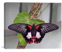 The Common Morman butterfly, Canvas Print