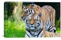 A Pair of Tigers, Canvas Print