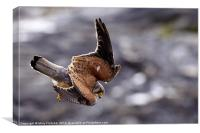 Diving Kestrel, Canvas Print