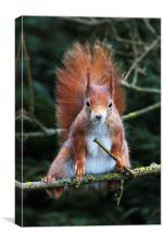 Red squirrel with attitude., Canvas Print