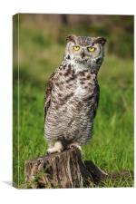 Great Horned Owl leaning over. , Canvas Print