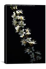 Hawthorn Flowers, Canvas Print