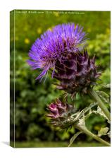 Common Thistle, Canvas Print