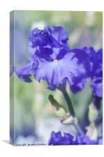Blue colored Tall Bearded Iris 'Kathleen Kay Nelso, Canvas Print