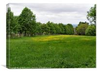 Buttercups in the meadow, Canvas Print