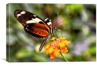 Colourful Butterfly, Canvas Print