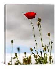 Stand Alone Poppy, Canvas Print