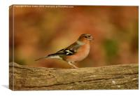 Male Chaffinch, Canvas Print