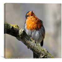 Robin singing on a sunny day, Canvas Print