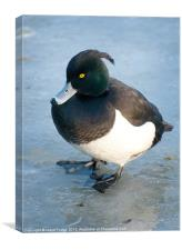 adult tuffed duck on frozen pond, Canvas Print