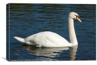 large swan on water, Canvas Print