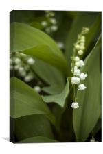 White Lilly of the Vally, Canvas Print