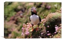 Puffin Beside The Sea Pinks, Canvas Print