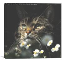 Mosey Among The Daisies, Canvas Print