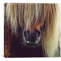 Shetland Pony In Close Up, Canvas Print