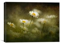 Daisies Giving A Heads Up, Canvas Print