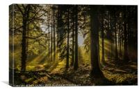 Little Coombe Woods Golden Glow, Canvas Print