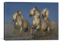 Galloping Camargue Horses, Canvas Print