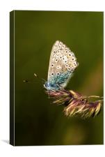 Chalkhill Blue Butterfly, Canvas Print