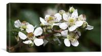 Bramble blossom, Canvas Print