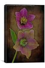 Hellebore - Christmas Rose, Canvas Print