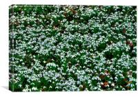 Woodland Snowdrops (Galanthus), Canvas Print