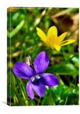 Wild Violet and Celandine - signs of Spring, Canvas Print