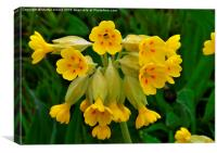 Cowslip Wild Flower, Canvas Print