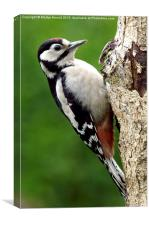 Greater Spotted Woodpecker, Canvas Print