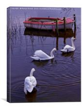 Whooper Swan Family, Canvas Print