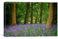 SPRING BLUEBELL WOOD AT THORP PERROW, Canvas Print
