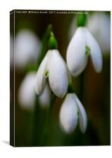 Snowdrops - Galanthus, Canvas Print