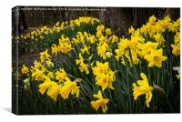 Spring Daffodils at Hardwick Park, Canvas Print