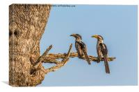 Southern Yellow Billed Hornbill, Canvas Print