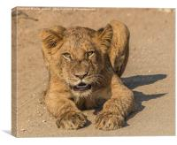 Lion Cub in Kruger National Park, Canvas Print