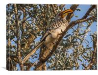 Southern Yellow Billed Hornbill in Kruger, Canvas Print