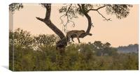 Leopard in Kruger National Park, Canvas Print